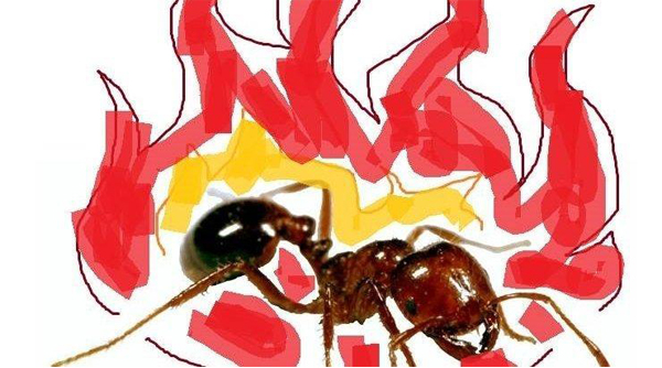 "Campaign to change the name of fire ants to ""spicy boys"" gathers pace"