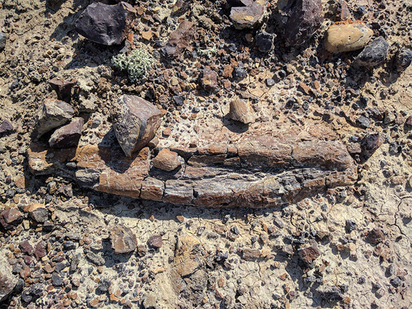 Weird 'Rocks' at Robotics Test Site Turn Out to Be Dinosaur Fossils