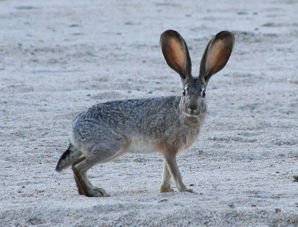 What is the Difference Between a Rabbit and a Hare?