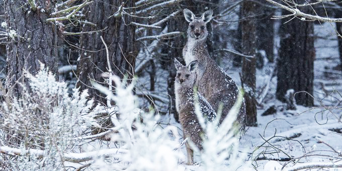 Ghostly 'Snow Kangaroos' Filmed Hopping After Rare Snow Storm In Australia