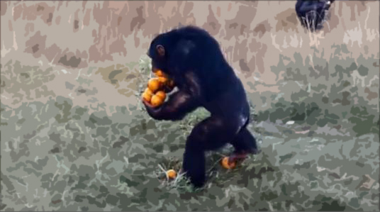 "Talented chimp in South Africa shows how to carry ""a dozen oranges at once"""